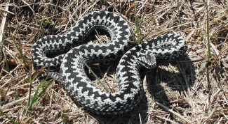 What snakes are found in Russia
