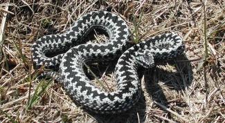 Какие змеи водятся в России