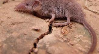 Самое маленькое млекопитающее на Земле - землеройка