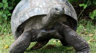 Сколько живут гигантские черепахи