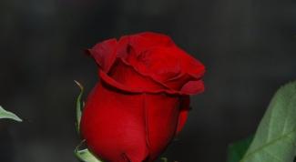 Какие розы лучше подарить девушке