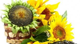 Семена подсолнечника: польза и вред