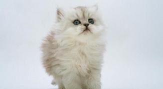 Как выбрать породистую кошку