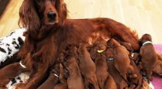 Какие витамины давать беременной собаке