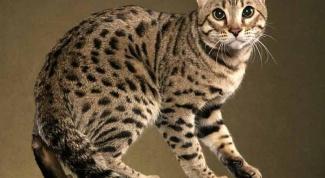 Какая порода кошек не вызывает аллергии