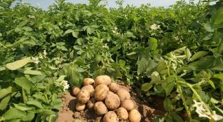 Окучивание картофеля: правила
