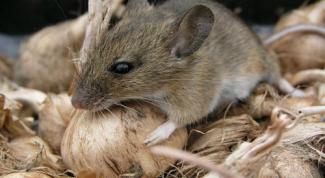 Как избавиться от мышей и других грызунов
