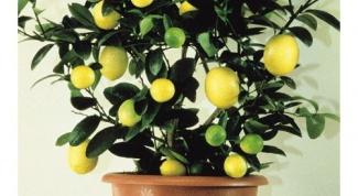 Тонкости ухода за лимонным деревом в домашних условиях