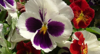 How to grow pansies from seed