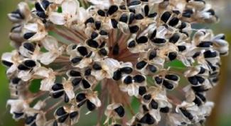 Как посадить лук на семена