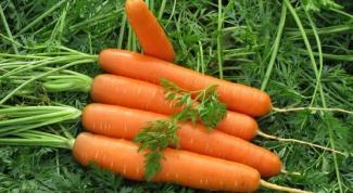Как посадить морковь на семена