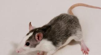 Какой срок беременности у крыс