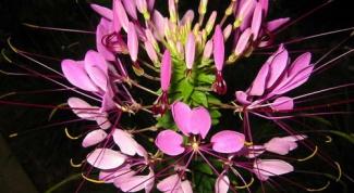 Клеома: выращивание из семян, посадка и уход
