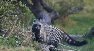 Удивительные животные: африканская цивета