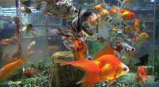 Правила приобретения золотых рыбок