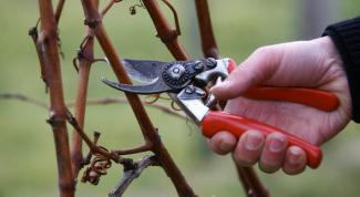 Когда можно обрезать виноград