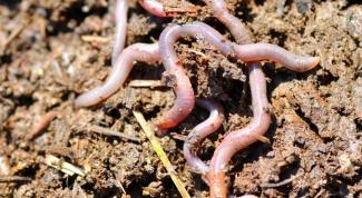 Как передвигаются дождевые черви