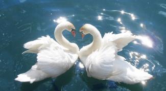 К каким птицам относится лебедь