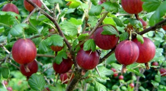 Than treated with gooseberries