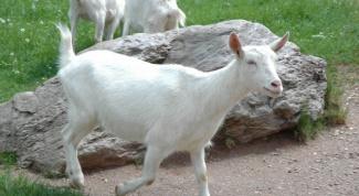 Как кормить беременных коз