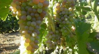 Чем опрыскивают виноград