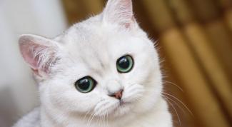 Как передается лишай от кошек