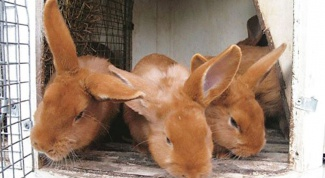 How to handle cells of rabbits