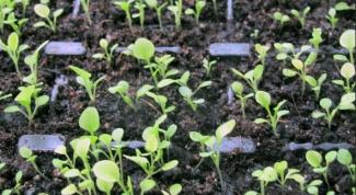How to transplant seedlings petunias