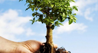 How to transplant a tree, if it is large