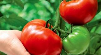 Как получить хороший урожай томатов