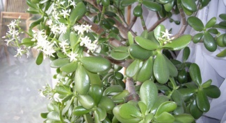 Crassula, crassula or money tree
