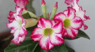 Как выращивать адениум из семян