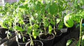 Как вырастить овощную рассаду