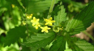 Какая трава помогает при болезнях печени