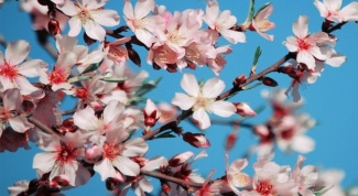 Как цветет абрикос