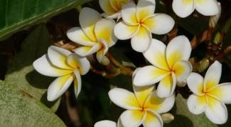 As it flowers ficus
