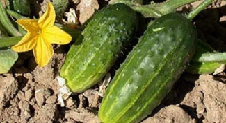 What land is needed for cucumbers
