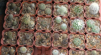 How to choose a pot for cacti