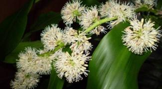 As blooms dracaena