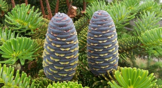 As bloom coniferous
