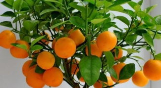 Как растет апельсин
