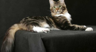 Кошки породы мей кун