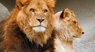 Какой дом у львов