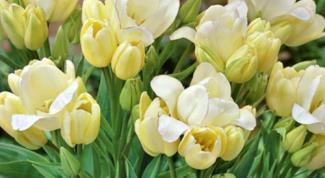 Как вырастить многоцветковые тюльпаны