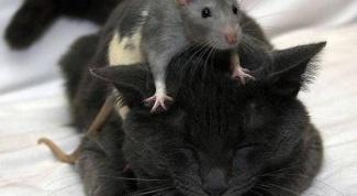 Как понять, что кот крысолов