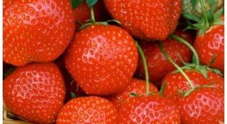 Как правильно ухаживать за викторией ягодой