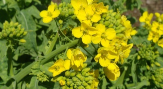 How to sow mustard for fertilizer