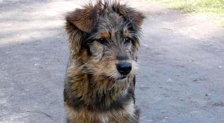 Как собака может заразится бешенством