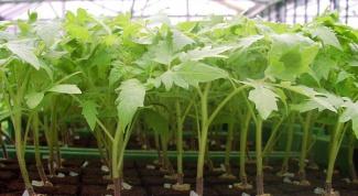 Как правильно ухаживать за рассадой томатов