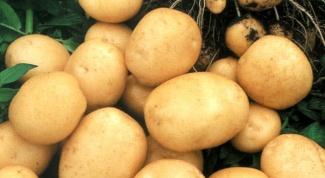 Как правильно посадить картофель, чтобы получить высокий урожай